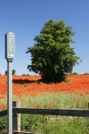 D49-8121 Poppy Field and Public Footpath, Gainford, Teesdale, County Durham